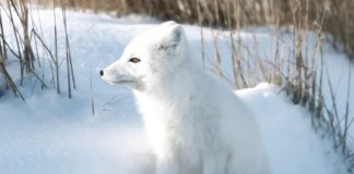 how do arctic fox protect themselves?