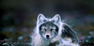 what eats arctic foxes