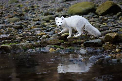 how long do arctic foxes live