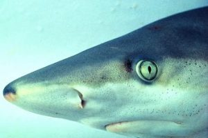 Eyesight of sharks