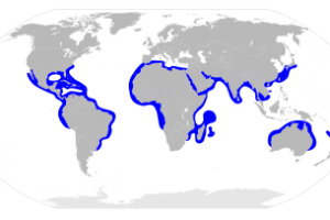 Great hammerhead shark distribution