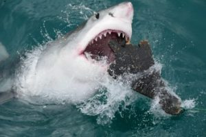 Great white shark hunt seals