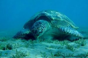 Green sea turtle eating