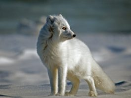 where do arctic foxes live
