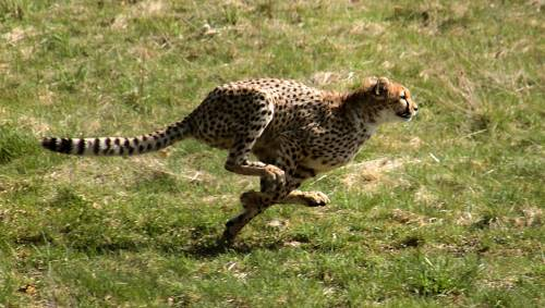 how fast does a cheetah run