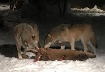 what do gray wolves eat