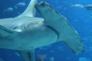 hammerhead shark eating