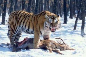 what do siberian tigers eat
