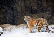 how long do siberian tigers live