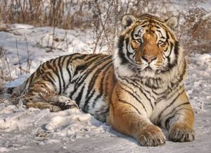 how big do siberian tigers get
