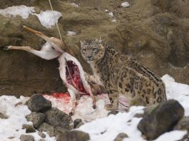 what do snow leopards eat