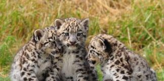 what do snow leopards look like