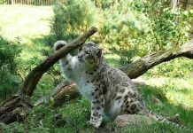 how long do snow leopards live