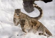 how far can a snow leopard jump