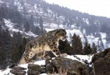 how high can a snow leopard jump