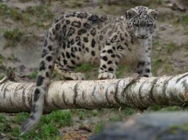 why do snow leopards have long tails