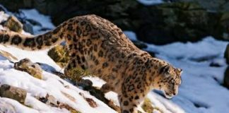 how much does a snow leopard weigh