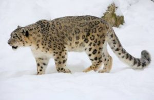 why do snow leopards have long tails?