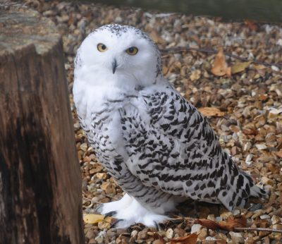 What Does A Snowy Owl Look Like Snowy Owl Description