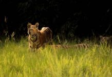 do tigers live in africa