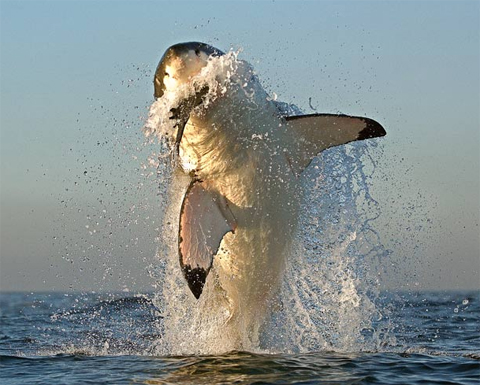how do great white sharks hunt