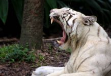 where do white tigers come from