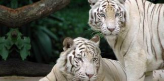 how long do white tigers live