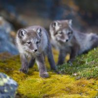 what do arctic foxes look like