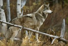 how long do gray wolves live