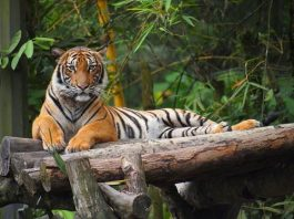 what do malayan tigers eat