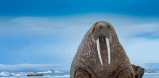 what do walruses eat