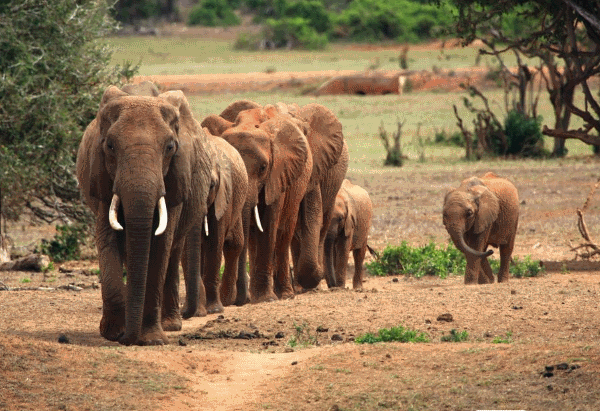 what do african elephants eat complete guide to african elephant diet