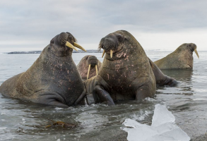 do female walruses have tusks