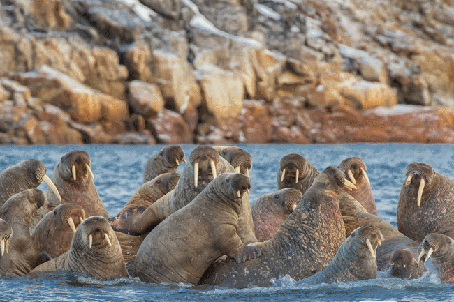 what eats walruses-- walrus predators