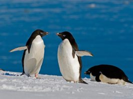 what do adelie penguins eat