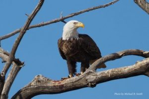 bald eagle migrate or not