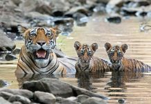 how many cubs do bengal tigers have