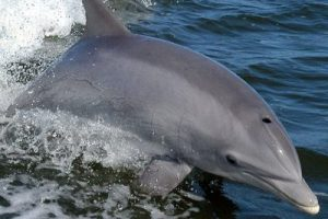 bottlenose dolphin appearance