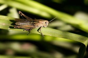 how long do grasshoppers live