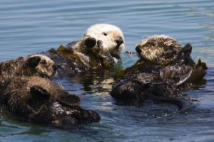 how many sea otters are left in the world