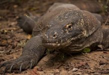 what do komodo dragons eat