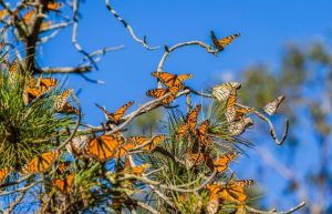 how long do monarch butterflies live