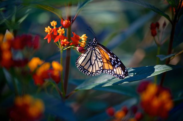 what do monarch butterflies eat