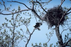 nest of a bald eagle