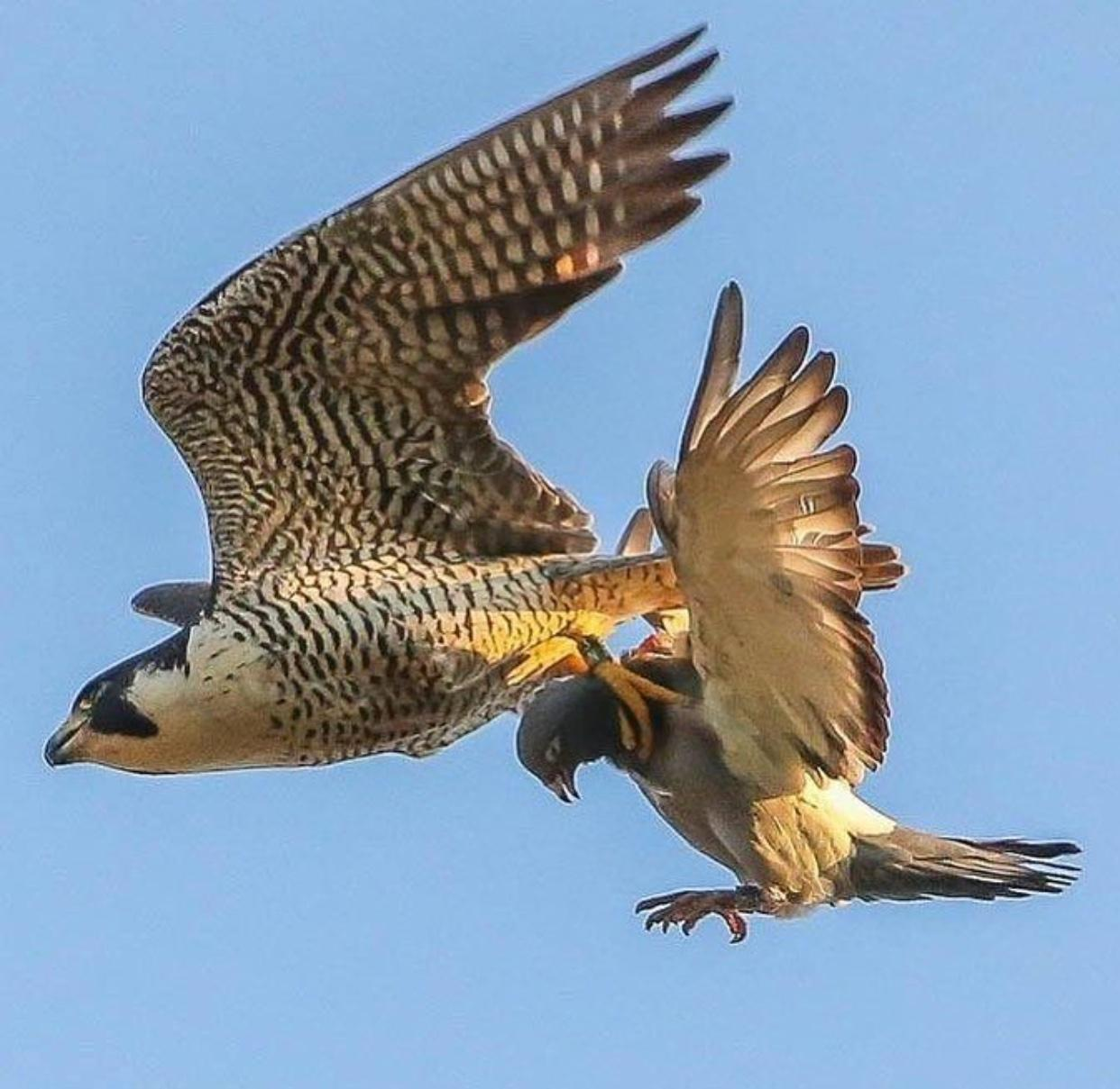 how do peregrine falcons catch their prey.