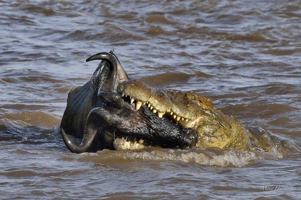 what do saltwater crocodiles eat