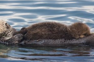 (2nd best of 3) Sea Otter (Enhydra lutris) mother with nursing