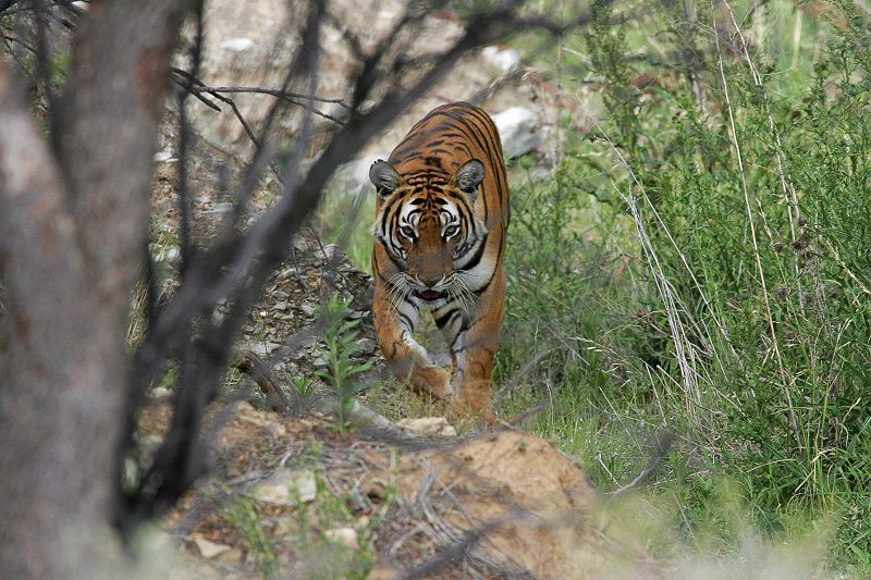 what do south china tigers eat