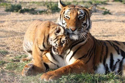 where do south china tigers live