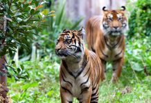 what do sumatran tigers eat